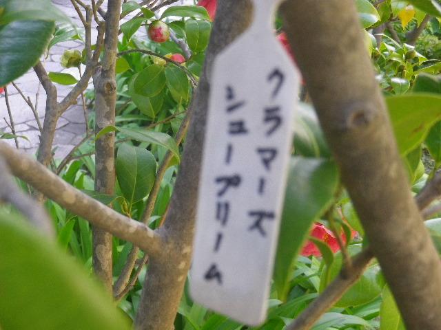 11-1) クラマーズシュープリーム  _ 17.04.23 鎌倉「大巧寺」 晩春の庭