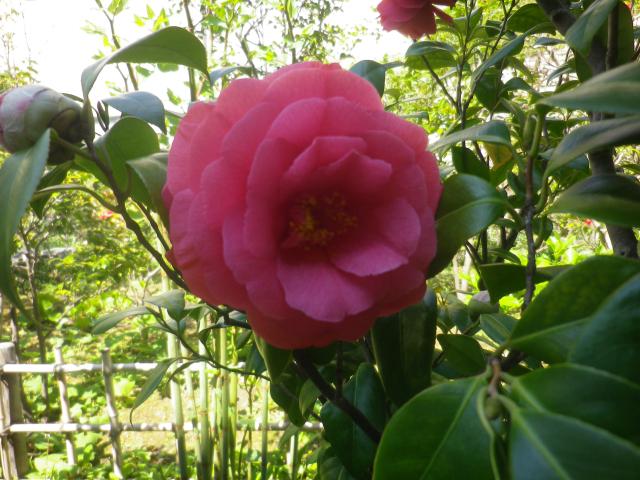 14-2) 名札の写真から ' 顔世鳥 ' と読めるのだけれども、私のWeb検索ではソレらしき項目がみつからない。   _ 17.04.23 鎌倉「大巧寺」 晩春の庭