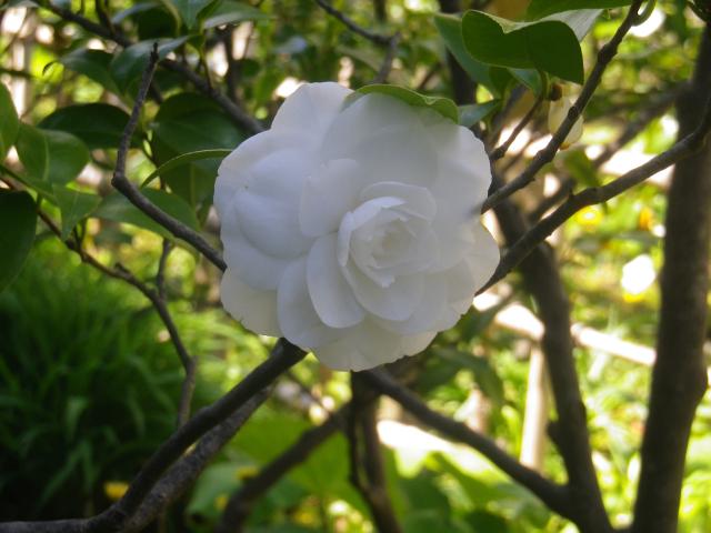 15-2) ヌチオスジェム _ 17.04.23 鎌倉「大巧寺」 晩春の庭