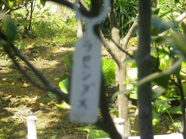 16-1) いつもながらテキトーに撮ってソノ場で確認すらしないから、今 ピンボケ発覚。' ラセンプス ' か?とWeb検索したが、ダメだった。 _ 17.04.23 鎌倉「大巧寺」 晩春の庭