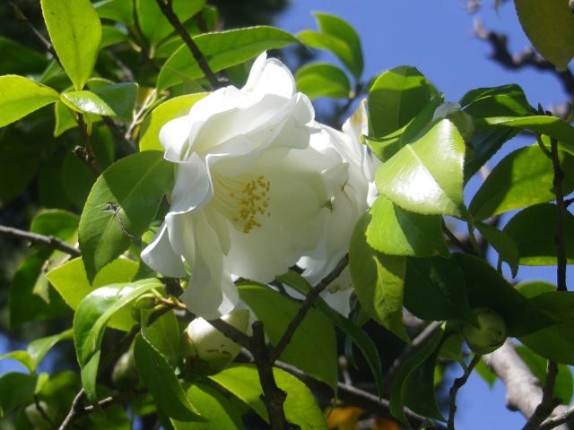 20-3) 大城冠(だいじょうかん_ 17.04.23 鎌倉大巧寺」 晩春の庭