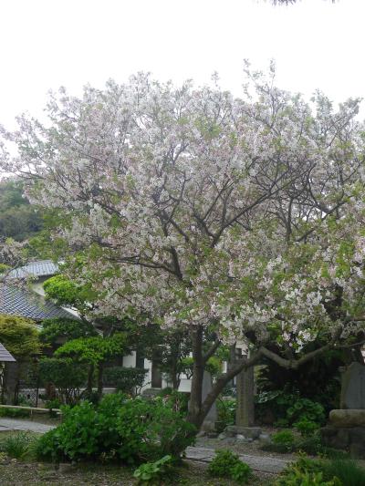 03-1)    17.04.22 鎌倉「千手院」の桜