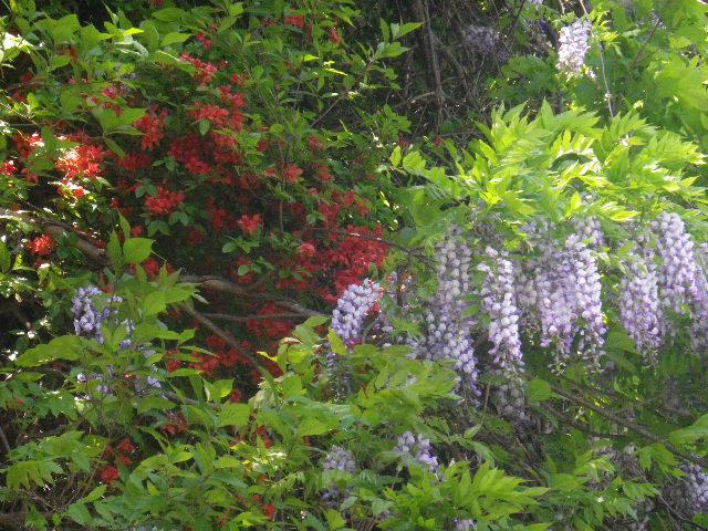 22-3)   英勝院墓塔上方崖の山藤。今年はJR横須賀線踏切を超えた道路から寿福寺方向にコレが見えるが、実際はコノ山藤。 17.05.05端午  鎌倉「英勝寺」立夏。