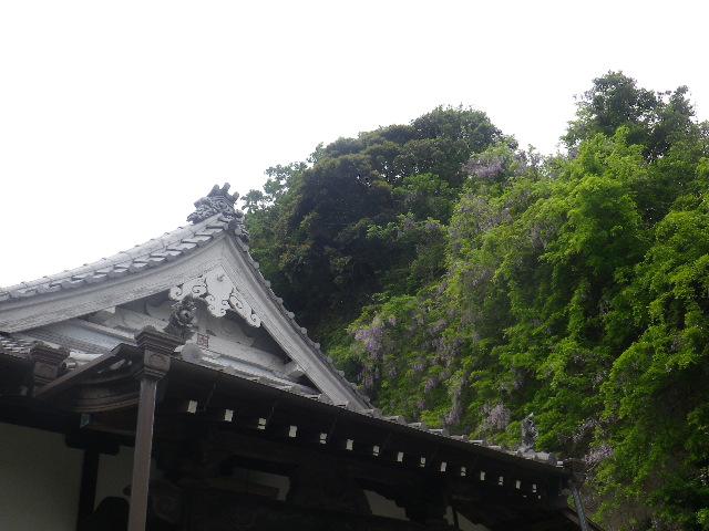 02-2)    17.05.09 鎌倉「大宝寺」の山藤