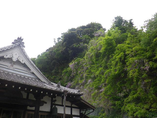 03)    17.05.09 鎌倉「大宝寺」の山藤