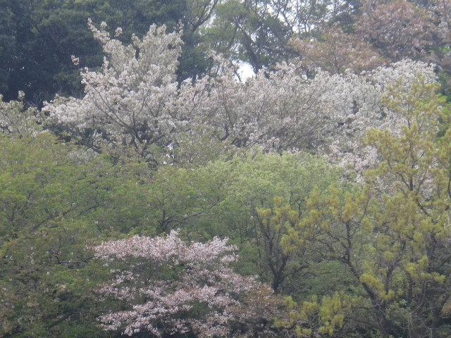 04-2)   17.04.17 近所の山桜などをテキトーに撮った