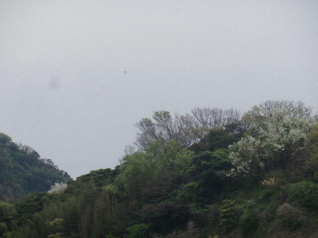 14-1)   17.04.17 近所の山桜などをテキトーに撮った