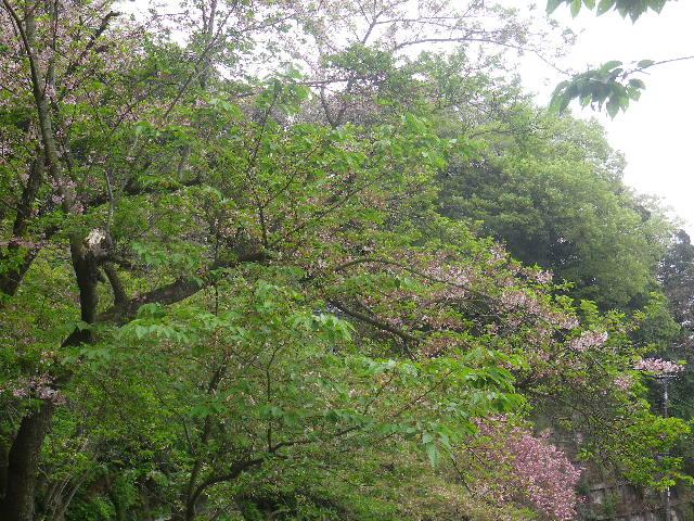 30)   逆光で上方の白い桜をカットして奥の桃色桜を撮ったつもりだけど、遠近感もないし意味不明な写真。写真が趣味ではないしテキトーに撮っているだけだから、このまま残す。 17.04.17