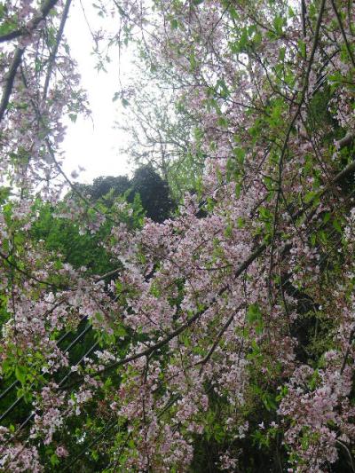 31-2)    写真30)桃色の桜を撮った  17.04.17 近所の山桜などをテキトーに撮った