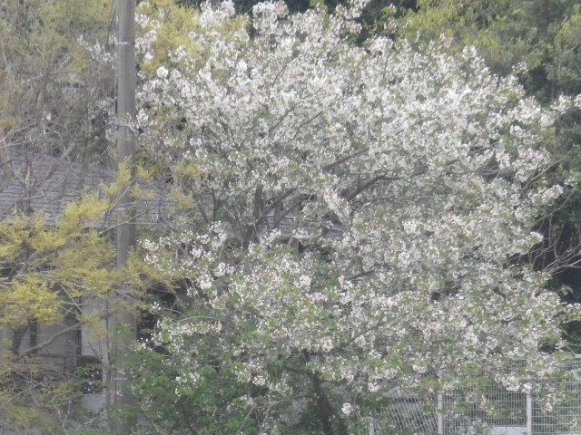35-2)   プール周辺の桜  17.04.17 近所の山桜などをテキトーに撮った