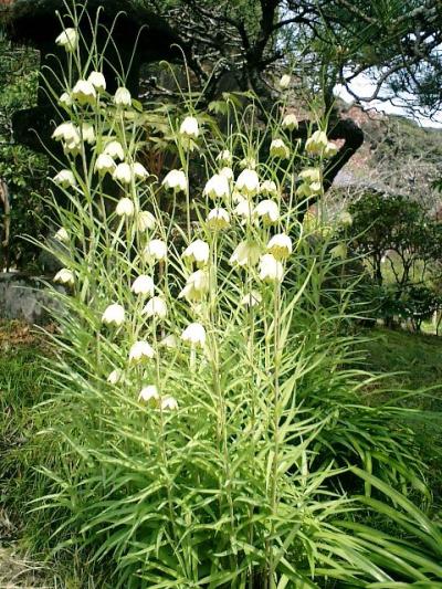 14) 鎌倉長谷「光則寺」。 境内の花