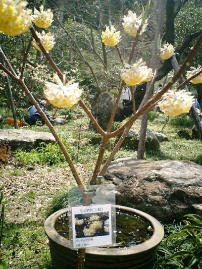 15) 鎌倉長谷「光則寺」。 ミツマタの花。