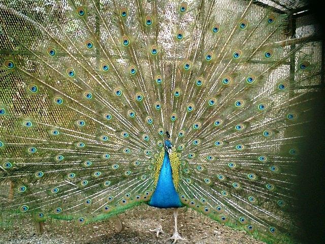 22) 鎌倉長谷「光則寺」。境内のクジャク。細かい金網越に撮った。15分くらい羽を広げていた。