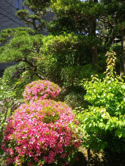 28)  サツキ _   17.05.29 鎌倉「大巧寺」イワガラミ咲いたよっ!
