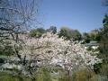 04)_06.04.03 鎌倉「成就院」春、桜の頃。