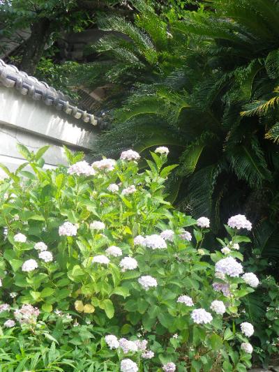 A01)  総門(惣門)外の左   17.06.14 鎌倉「光明寺」山門に向かって左側塀周辺の花