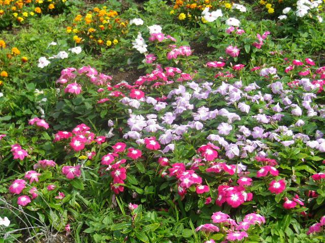 C02-2)  地面下が防火水利になっている花壇   17.06.14 鎌倉「光明寺」山門に向かって左側塀周辺の花