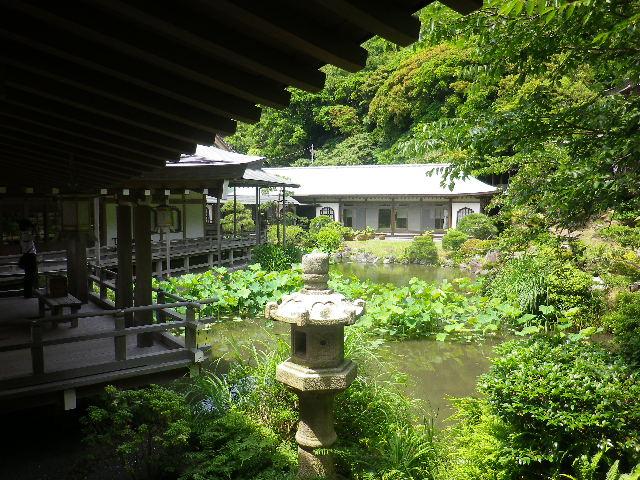 A01)  記主庭園    17.06.23 鎌倉「光明寺」記主庭園の蓮が咲き始めた