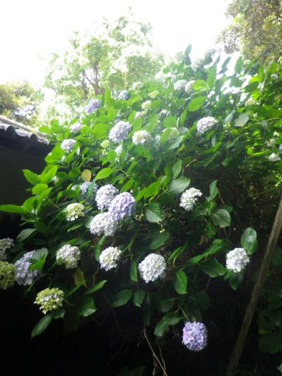 c09) 大殿裏の古道周辺の紫陽花     17.06.23 鎌倉「光明寺」記主庭園の蓮が咲き始めた