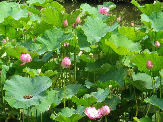 04-2) 17.07.03 鎌倉「光明寺」紫陽花に、蓮の開花が追いついて競艶。