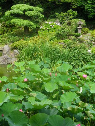 05-1) 17.07.03 鎌倉「光明寺」紫陽花に、蓮の開花が追いついて競艶。