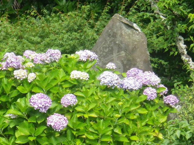 05-3) 17.07.03 鎌倉「光明寺」紫陽花に、蓮の開花が追いついて競艶。