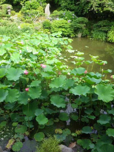07-1) 17.07.03 鎌倉「光明寺」紫陽花に、蓮の開花が追いついて競艶。