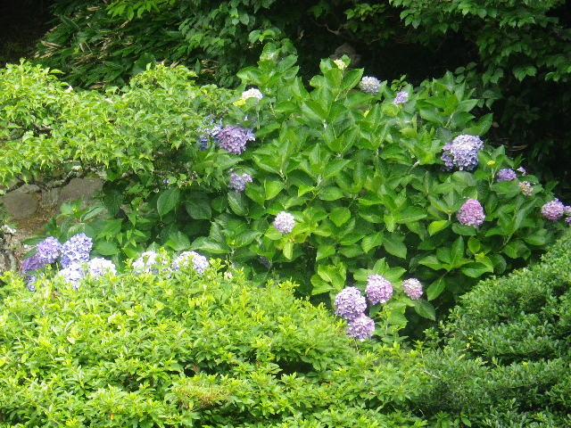 07-2) 17.07.03 鎌倉「光明寺」紫陽花に、蓮の開花が追いついて競艶。