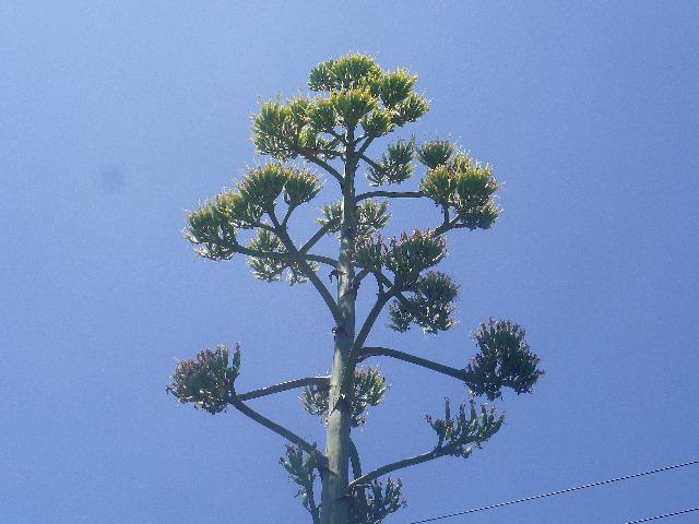 """C03--2)  数十年間に一度だけ、一世一代のヤル気ソノ気を発揮して?7~8mの高さにまで伸びての開花。   17.07.31 逗子 """" 浪子不動 """" 「高養寺」周辺 / 数十年に一度の ' リュウゼツラ"""