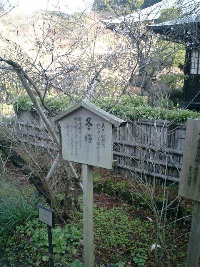 D01-2    07.02.21 鎌倉「瑞泉寺」梅の季節