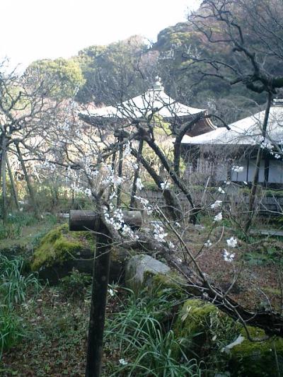 D01-3    07.02.21 鎌倉「瑞泉寺」梅の季節