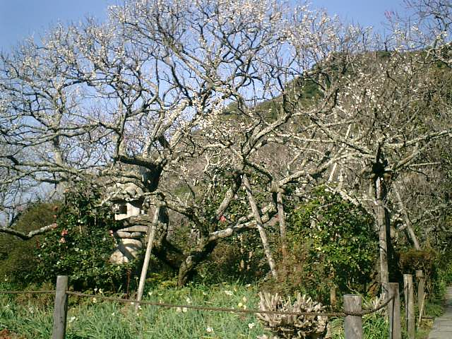 E01    07.02.21 鎌倉「瑞泉寺」梅の季節