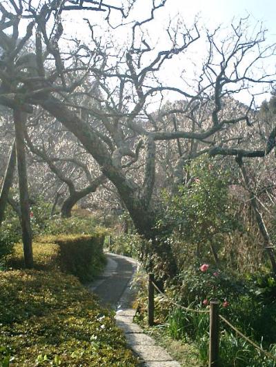 E04    07.02.21 鎌倉「瑞泉寺」梅の季節
