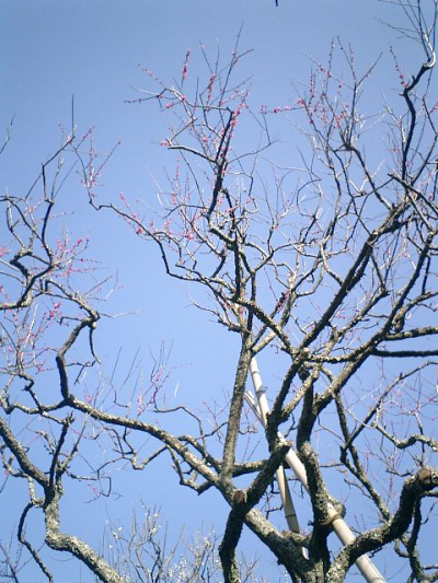 E07    07.02.21 鎌倉「瑞泉寺」梅の季節