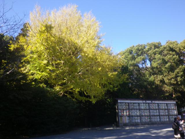 D01) 舞殿周辺の銀杏 17.11.24 初冬の 鎌倉「鶴岡八幡宮」