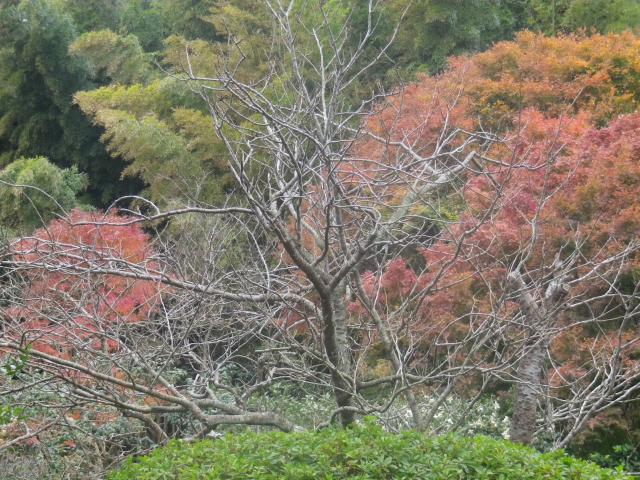 02)   17.11.30 鎌倉「英勝寺」塀の外から紅葉狩り