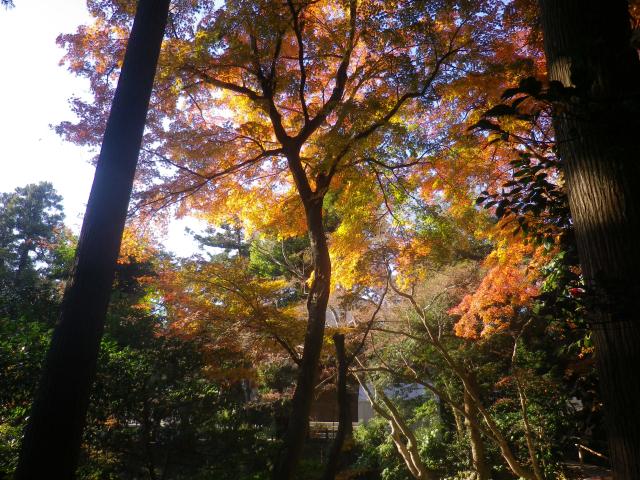 B11)    柳原神池の周辺   17.12.06 鎌倉「鶴岡八幡宮」銀杏が散って赤い葉が映える頃