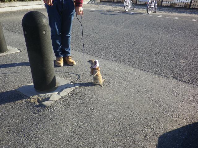 B04)    17.1.06 ペットのミーアキャットさんが飼い主さんと散歩していた