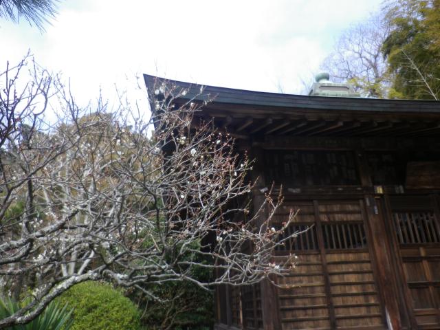 06) 18.02.23 鎌倉「浄光明寺」梅が咲く頃