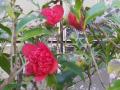 19-1) 紅唐子 / ベニカラコ   18.03.17 鎌倉「大巧寺」春彼岸を迎える頃