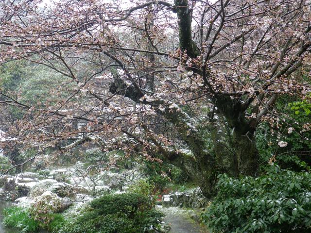 05-1)    18.03.21 雪が降る春彼岸中日の鎌倉「光明寺」開花開始直前!桜の蕾