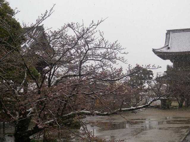07)    18.03.21 雪が降る春彼岸中日の鎌倉「光明寺」開花開始直前!桜の蕾