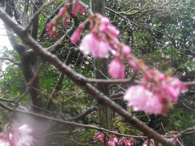 03-2)    18.03.21 鎌倉「長勝寺」桜の開花寸前に雪が降った春彼岸の中日
