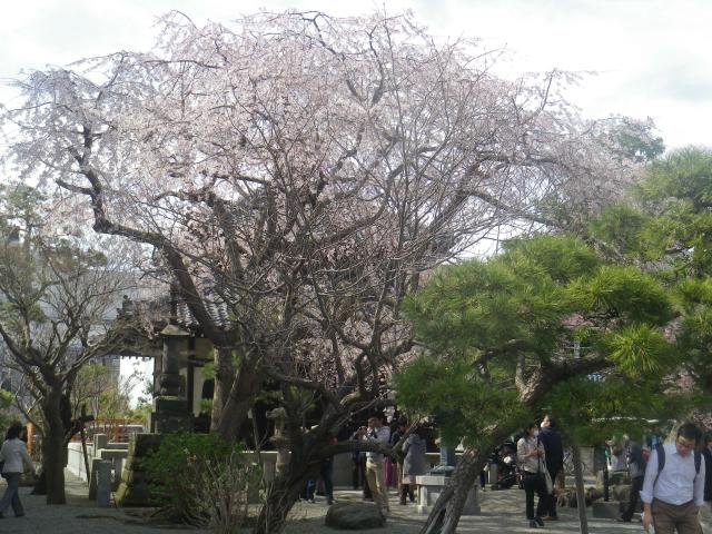 02-1)       18.03.24 鎌倉「本覚寺」の枝垂れ桜