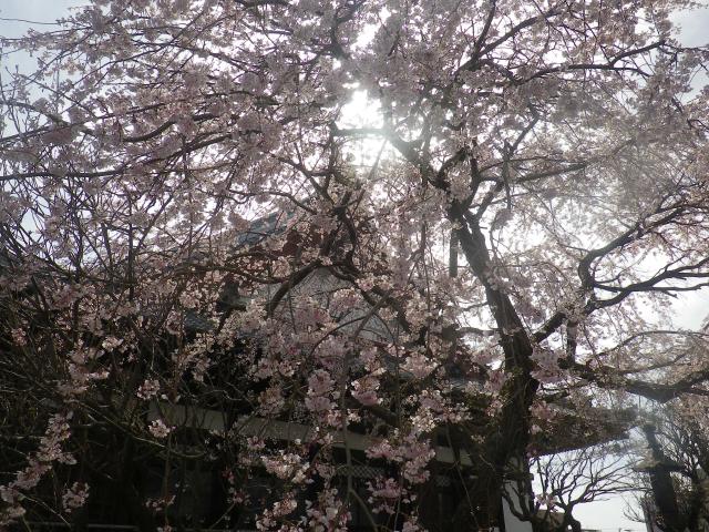 02--2)      18.03.24 鎌倉「本覚寺」の枝垂れ桜