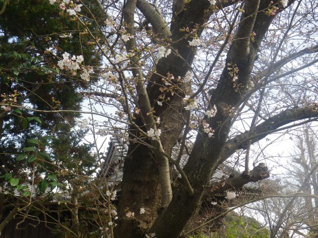 04-2)      18.03.24 鎌倉「本覚寺」の枝垂れ桜