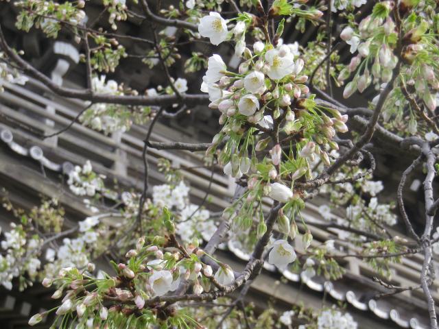01-2)    18.03.24 鎌倉「光明寺」の桜が開花