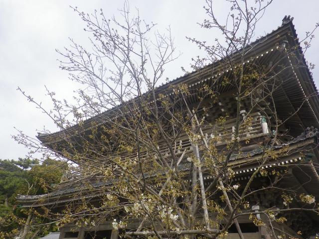 02-1)    18.03.24 鎌倉「光明寺」の桜が開花