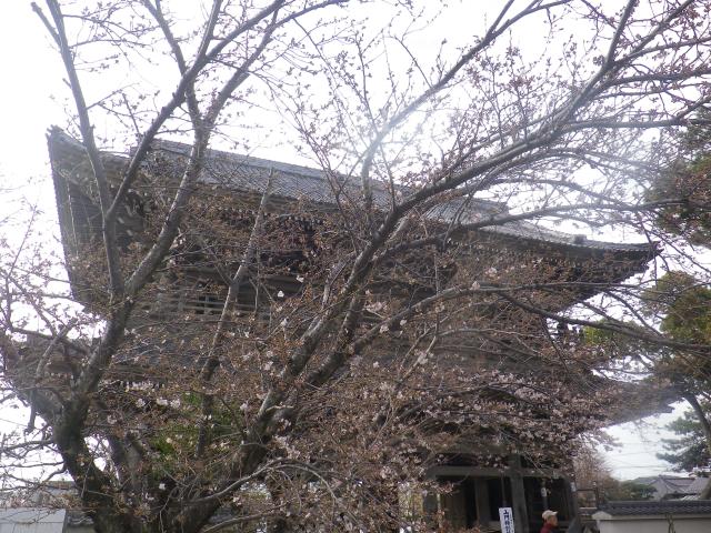 04-1)    18.03.24 鎌倉「光明寺」の桜が開花