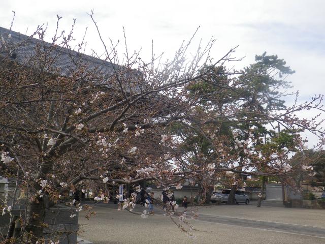 05-1)    18.03.24 鎌倉「光明寺」の桜が開花